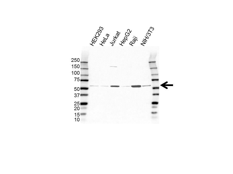 Anti PELI3 Antibody (PrecisionAb™ Polyclonal Antibody) gallery image 1