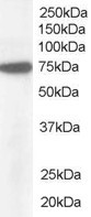 Anti Human Pericentrin 1 (C-Terminal) Antibody gallery image 1