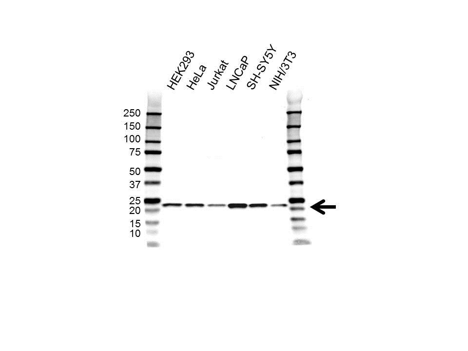 Anti Peroxiredoxin 2 Antibody (PrecisionAb Polyclonal Antibody) gallery image 1