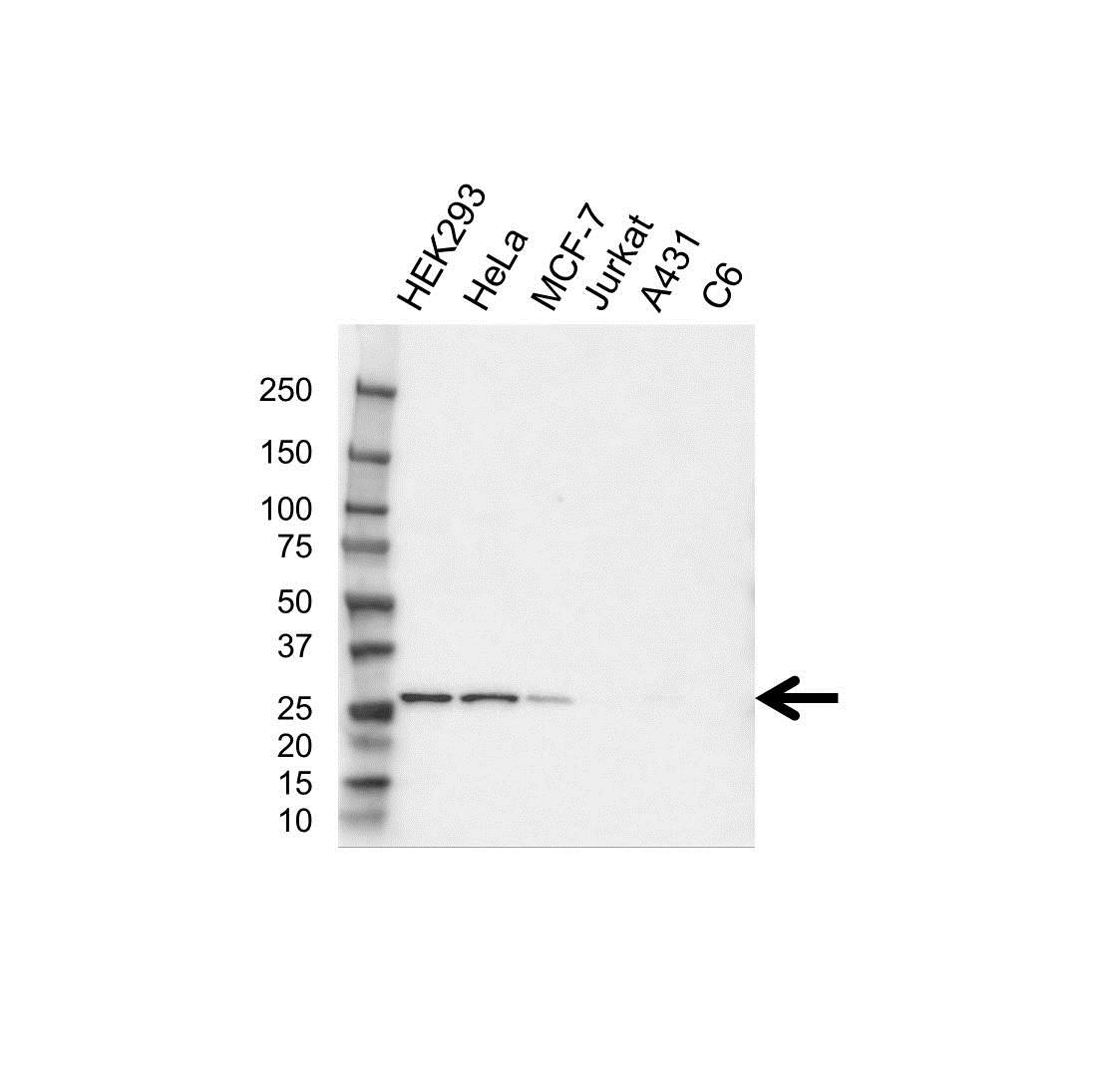 Anti Peroxiredoxin 4 Antibody (PrecisionAb Polyclonal Antibody) gallery image 1