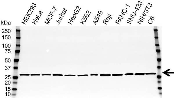 Anti PGAM1 Antibody (PrecisionAb Polyclonal Antibody) gallery image 1