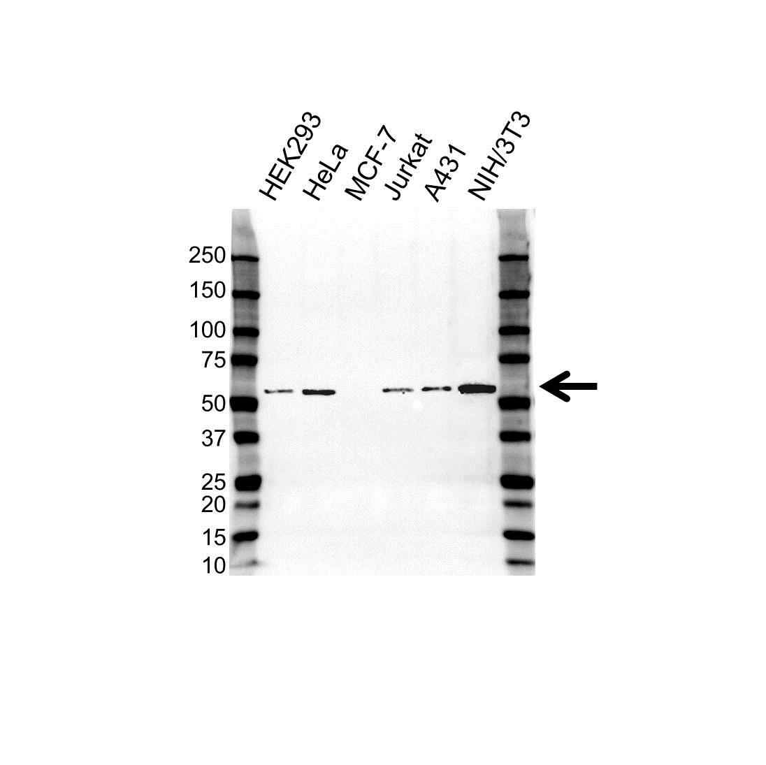 Anti PHGDH Antibody (PrecisionAb Polyclonal Antibody) gallery image 1