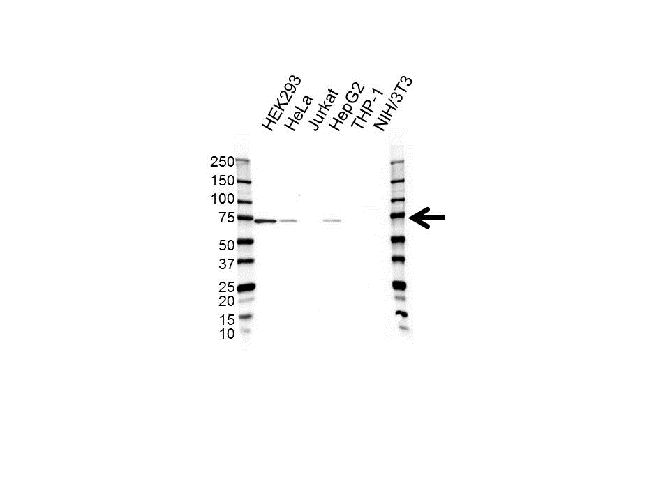 Anti Pokemon Antibody (PrecisionAb™ Polyclonal Antibody) gallery image 1