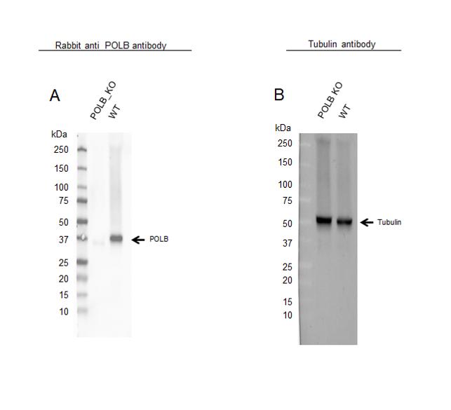 Anti POLB Antibody (PrecisionAb Polyclonal Antibody) thumbnail image 2