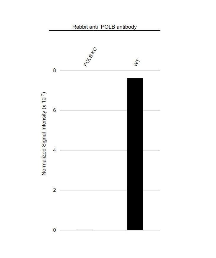 Anti POLB Antibody (PrecisionAb Polyclonal Antibody) thumbnail image 3