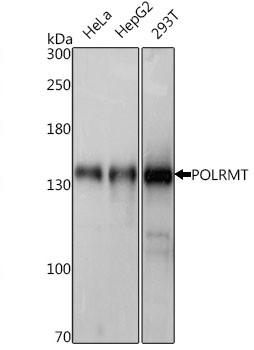 Anti Polrmt Antibody thumbnail image 1
