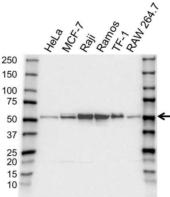 Anti Polyadenylate-Binding Nuclear Protein 1 Antibody (PrecisionAb Polyclonal Antibody) gallery image 1