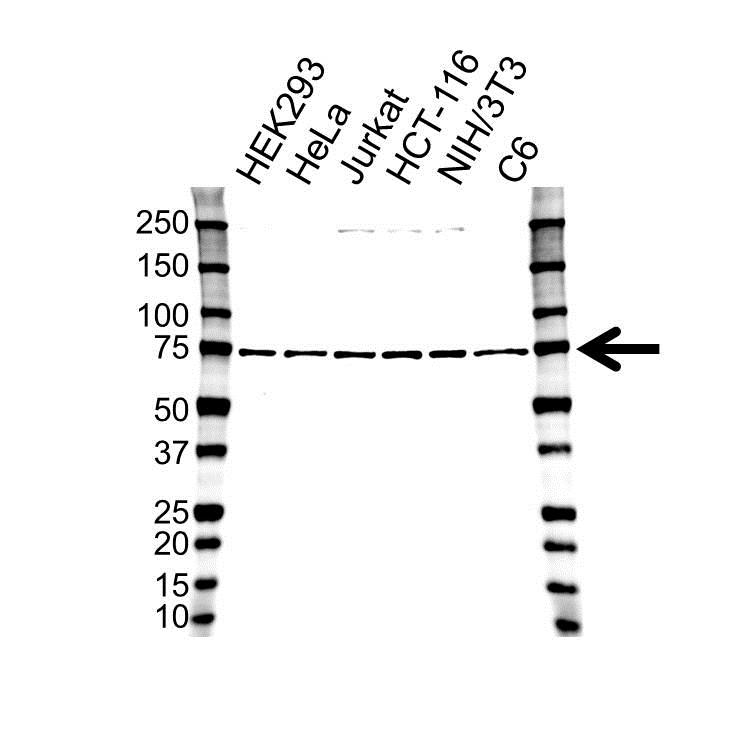 Anti Polyadenylate-Binding Protein 1 Antibody (PrecisionAb Polyclonal Antibody) gallery image 1