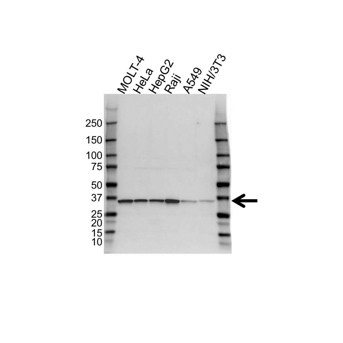 Anti PPA1 Antibody (PrecisionAb Polyclonal Antibody) gallery image 1