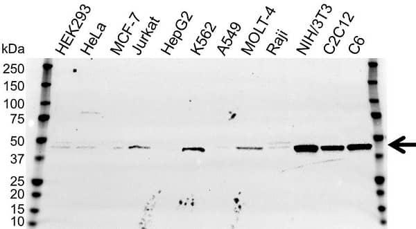Anti PPID Antibody (PrecisionAb Polyclonal Antibody) gallery image 1