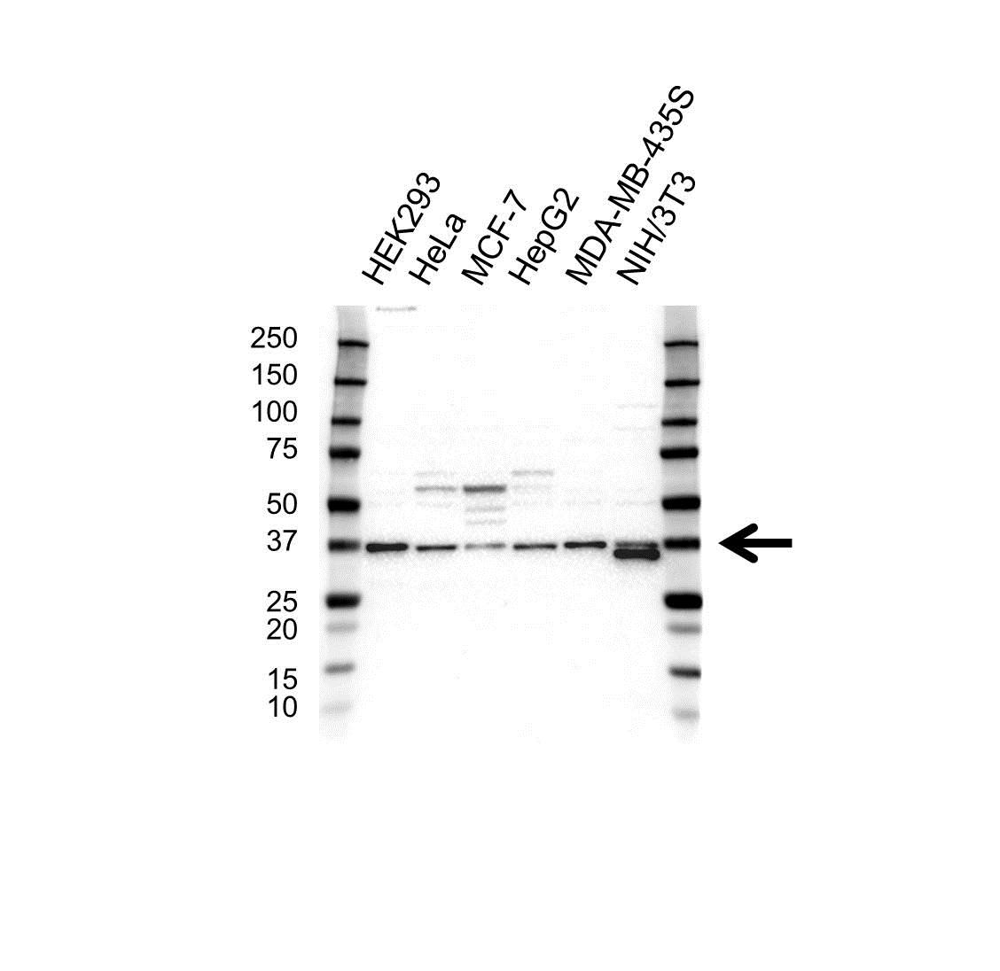 Anti PPP1CC Antibody (PrecisionAb Polyclonal Antibody) gallery image 1
