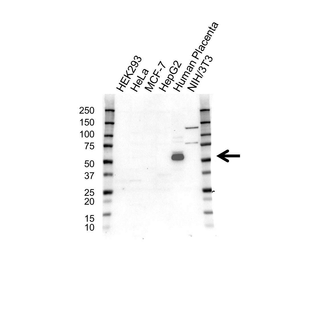 Anti Pregnancy Specific Glycoprotein 1 Antibody (PrecisionAb Polyclonal Antibody) gallery image 1