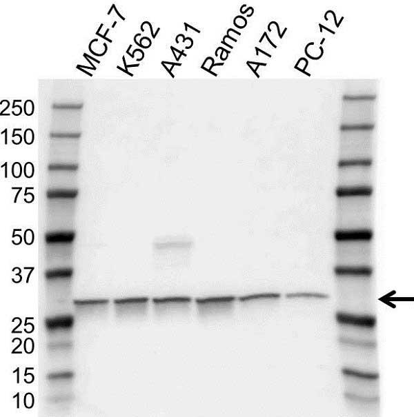 Anti Prohibitin Antibody (PrecisionAb Polyclonal Antibody) gallery image 1
