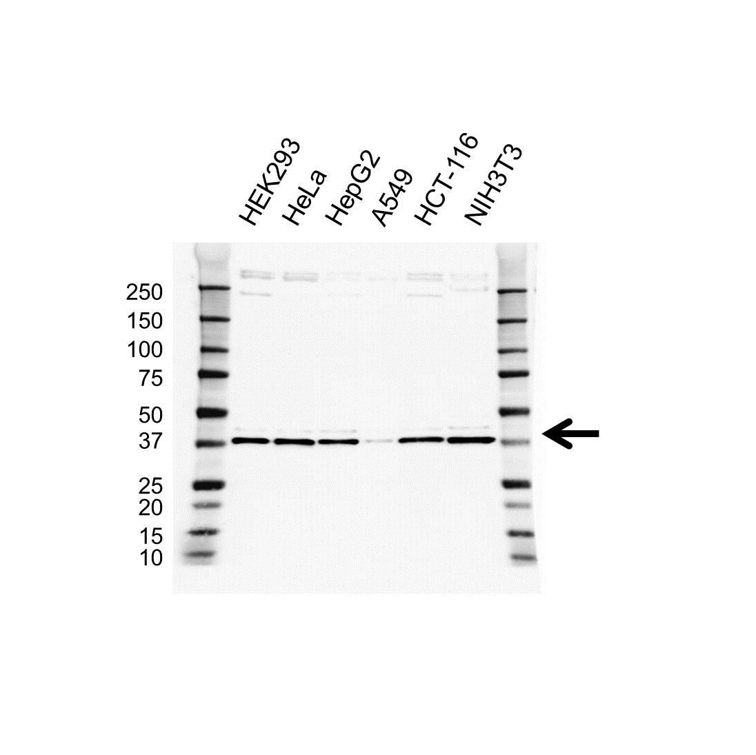 Anti Prolyl Hydroxylase 1 Antibody (PrecisionAb Polyclonal Antibody) gallery image 1