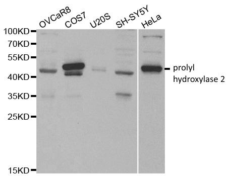 Anti Prolyl Hydroxylase 2 Antibody thumbnail image 2