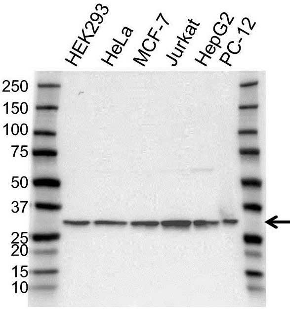 Anti PSMA1 Antibody (PrecisionAb Polyclonal Antibody) gallery image 1