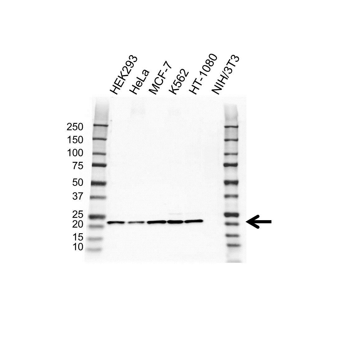Anti PSMB5 Antibody (PrecisionAb Polyclonal Antibody) gallery image 1