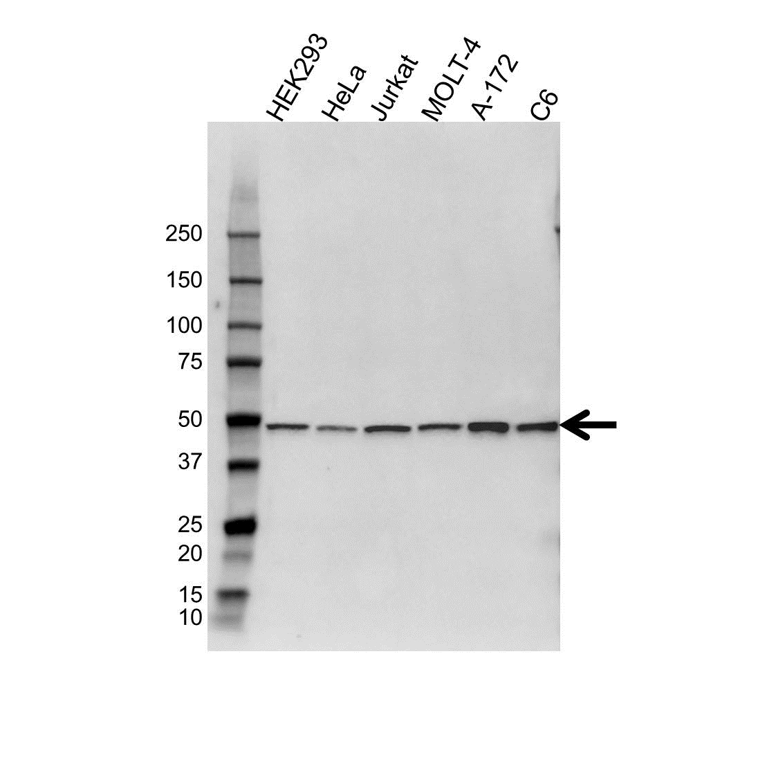 Anti PSMC2 Antibody (PrecisionAb™ Polyclonal Antibody) gallery image 1