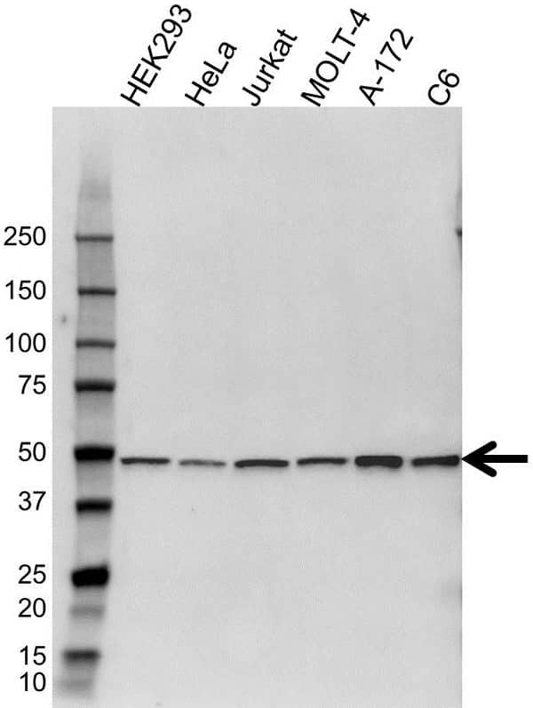 Anti PSMC2 Antibody (PrecisionAb Polyclonal Antibody) gallery image 1
