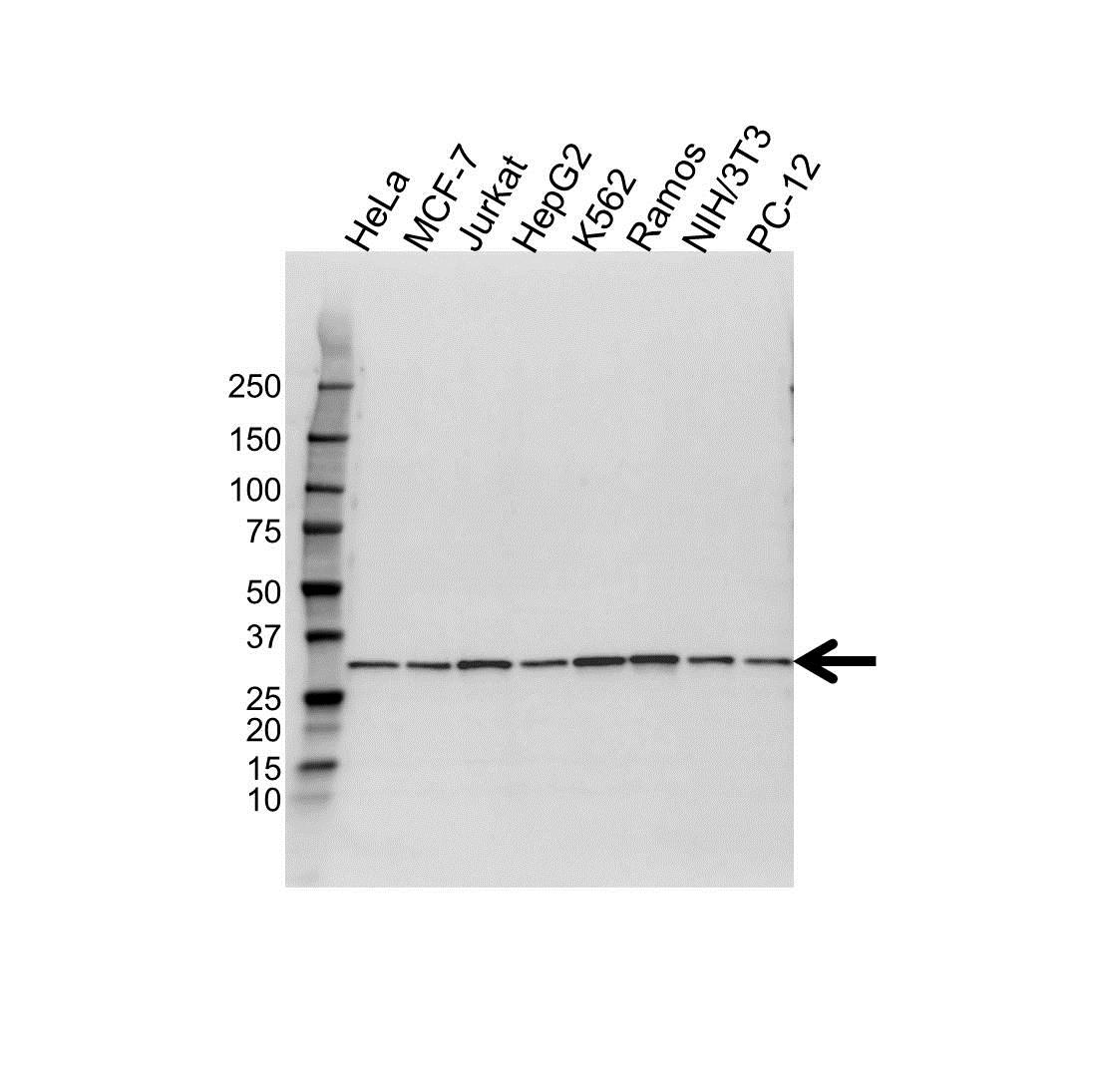 Anti PSME3 Antibody (PrecisionAb Polyclonal Antibody) gallery image 1