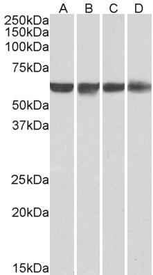 Anti Human PTBP1 (N-Terminal) Antibody thumbnail image 3