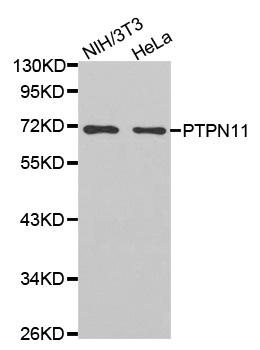 Anti PTPN11 Antibody thumbnail image 1