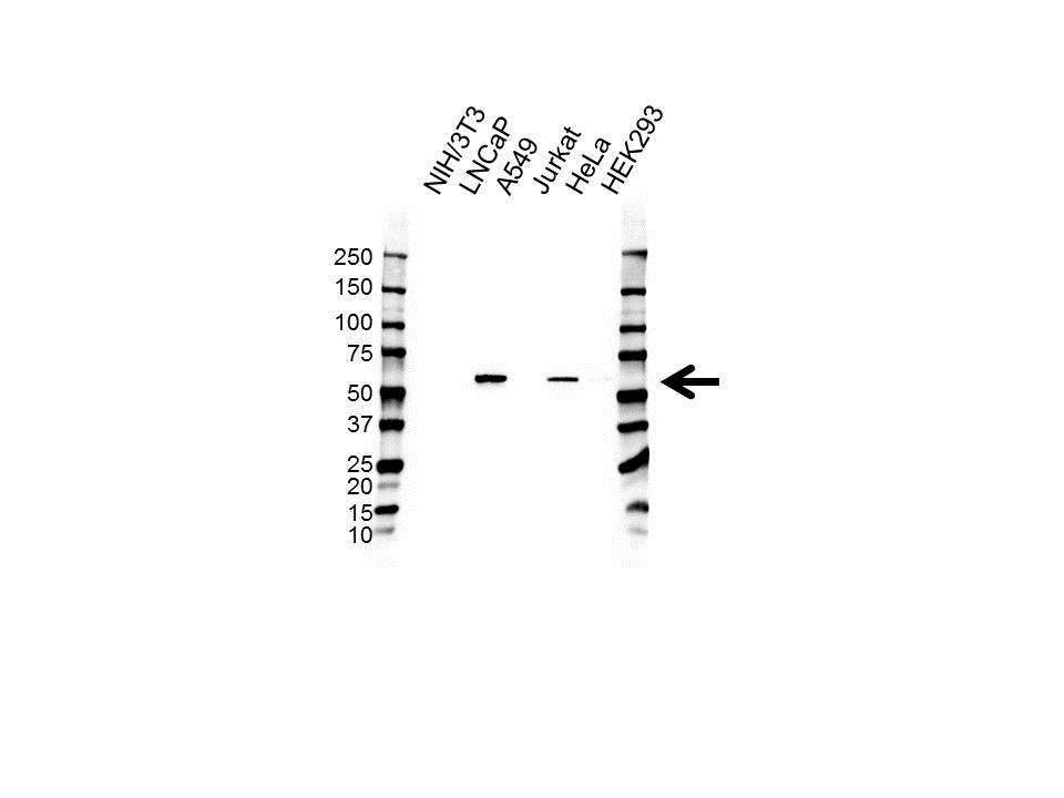Anti PTRF Antibody (PrecisionAb Polyclonal Antibody) gallery image 1