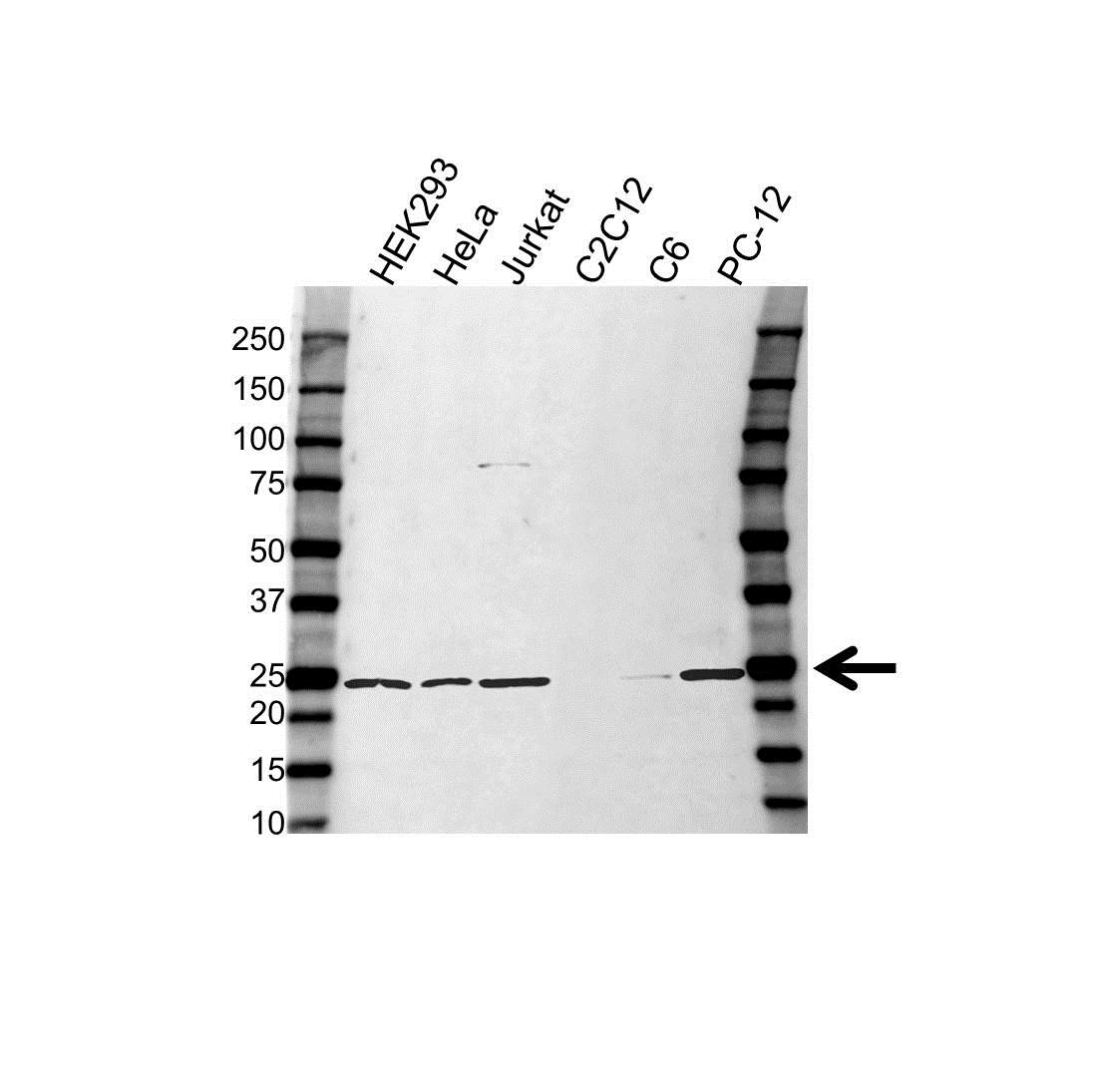 Anti RAB11A Antibody (PrecisionAb Polyclonal Antibody) gallery image 1