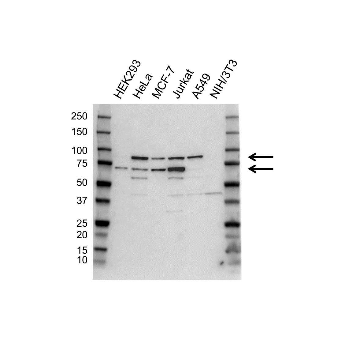 Anti RANGAP1 Antibody (PrecisionAb Polyclonal Antibody) gallery image 1