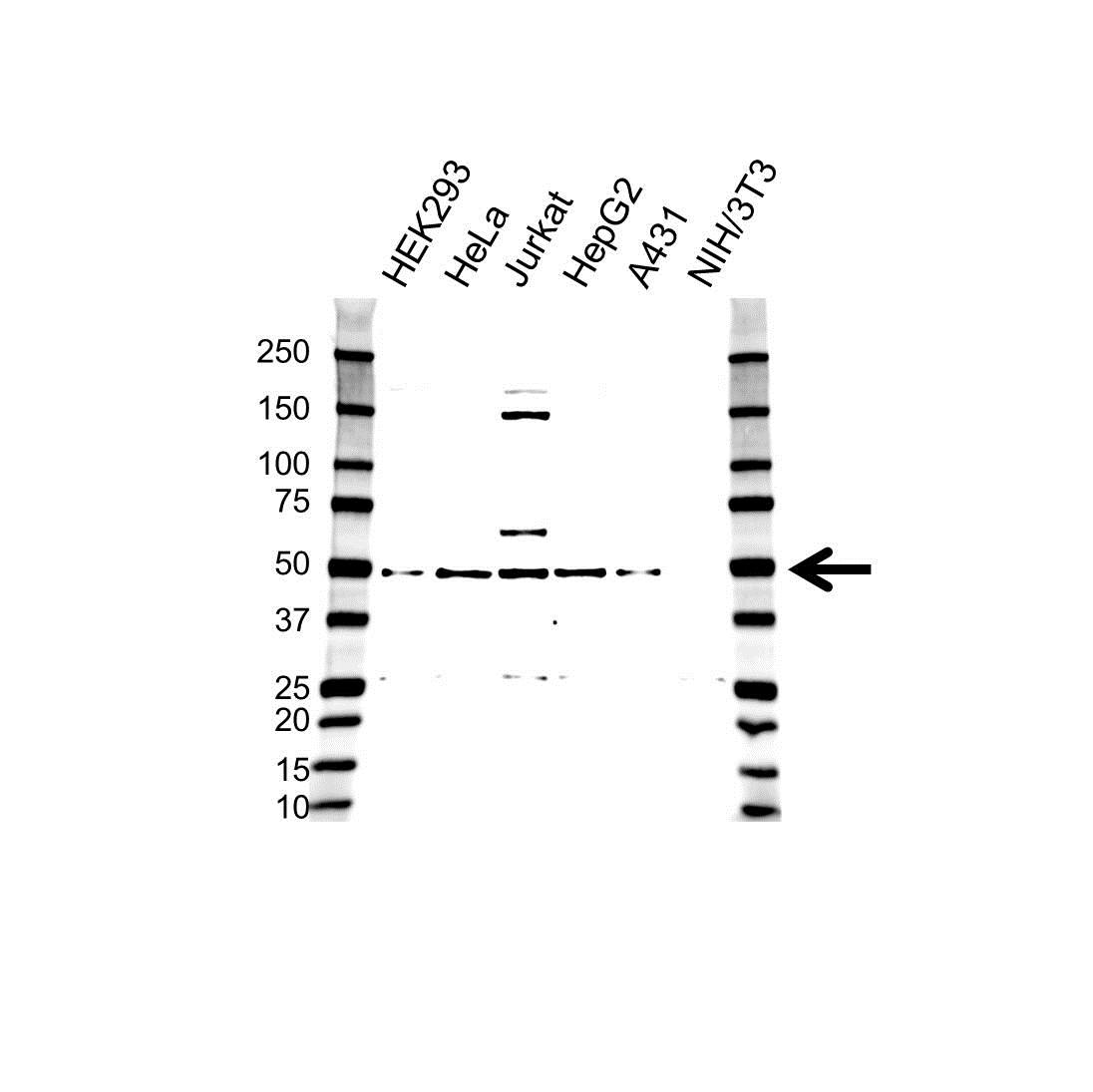 Anti RAP1 Antibody (PrecisionAb™ Polyclonal Antibody) gallery image 1