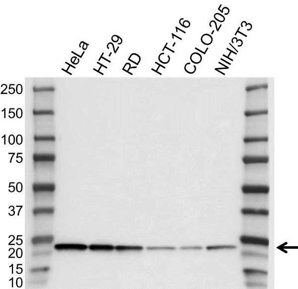 Anti RAP1A Antibody (PrecisionAb Polyclonal Antibody) gallery image 1