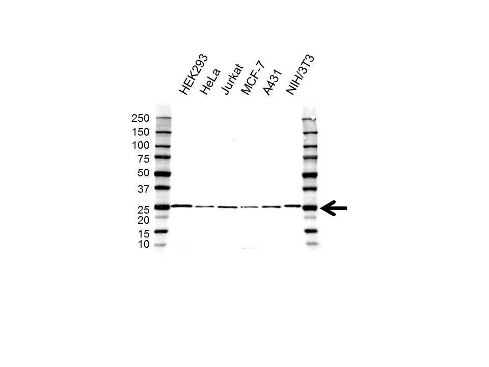 Anti RAP1A/B Antibody (PrecisionAb™ Polyclonal Antibody) gallery image 1