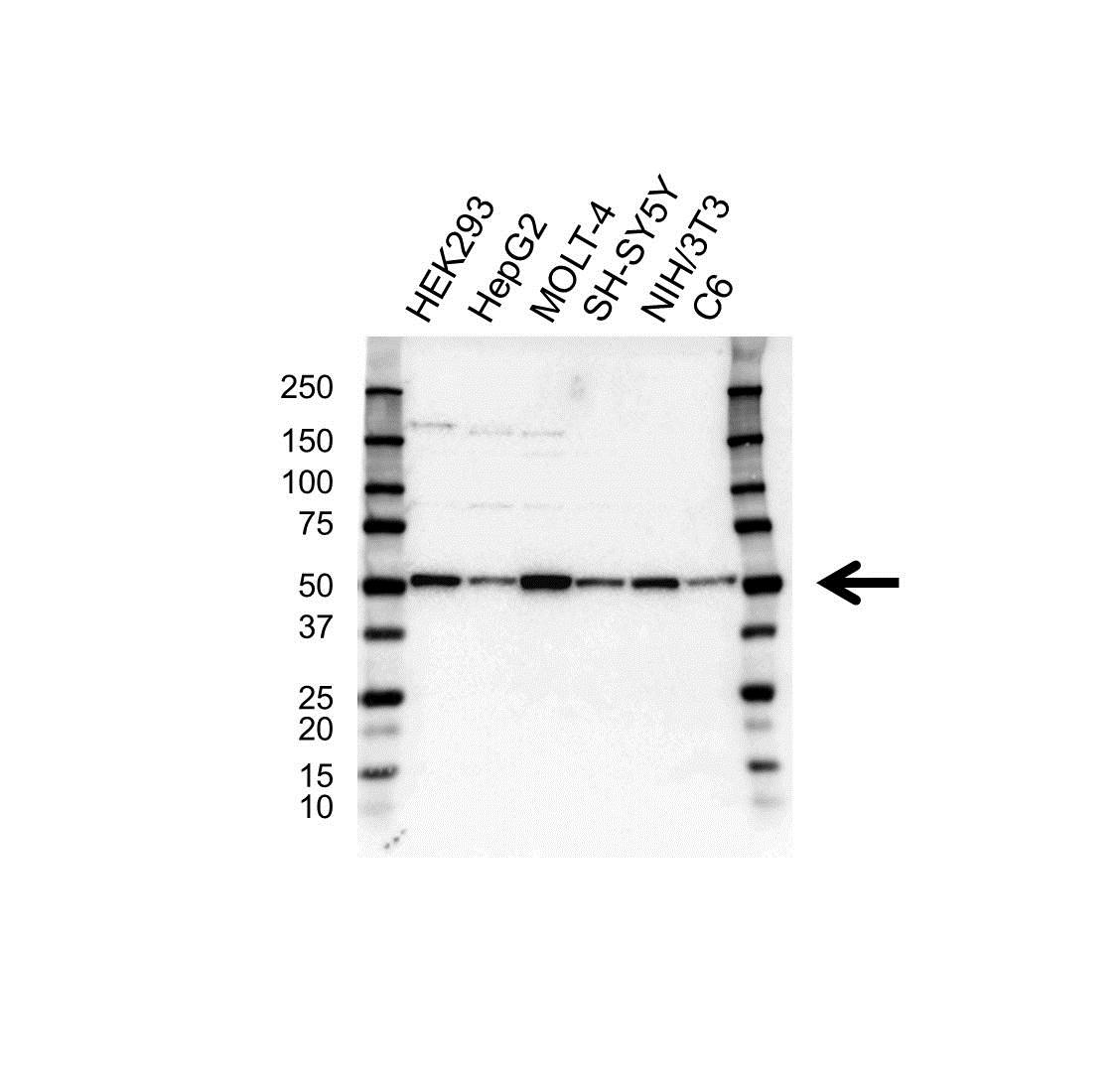 Anti RBBP7 Antibody (PrecisionAb Polyclonal Antibody) gallery image 1