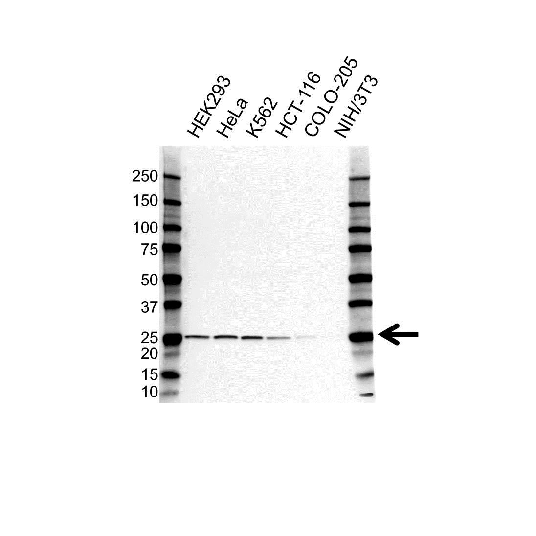 Anti RPL13A Antibody (PrecisionAb Polyclonal Antibody) gallery image 1