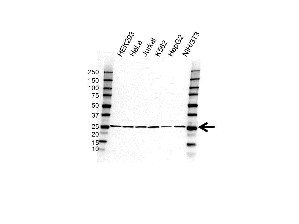 Anti RPL15 Antibody (PrecisionAb Polyclonal Antibody) gallery image 1