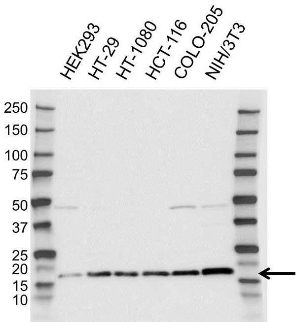 Anti RPL23 Antibody (PrecisionAb Polyclonal Antibody) gallery image 1