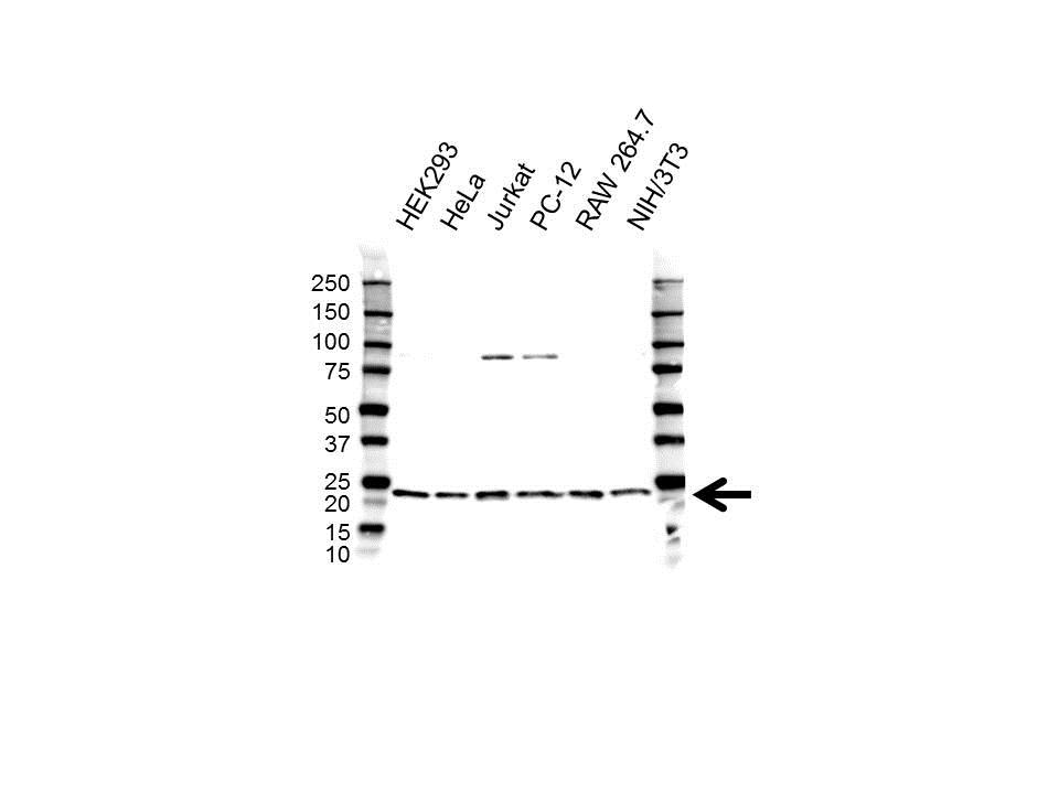 Anti RPL26 Antibody (PrecisionAb Polyclonal Antibody) gallery image 1