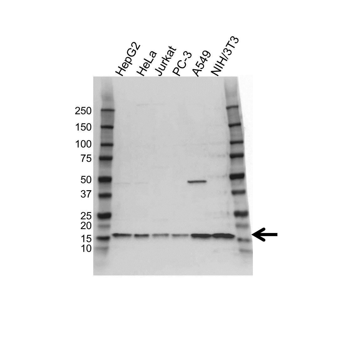 Anti RPL30 Antibody (PrecisionAb™ Polyclonal Antibody) gallery image 1