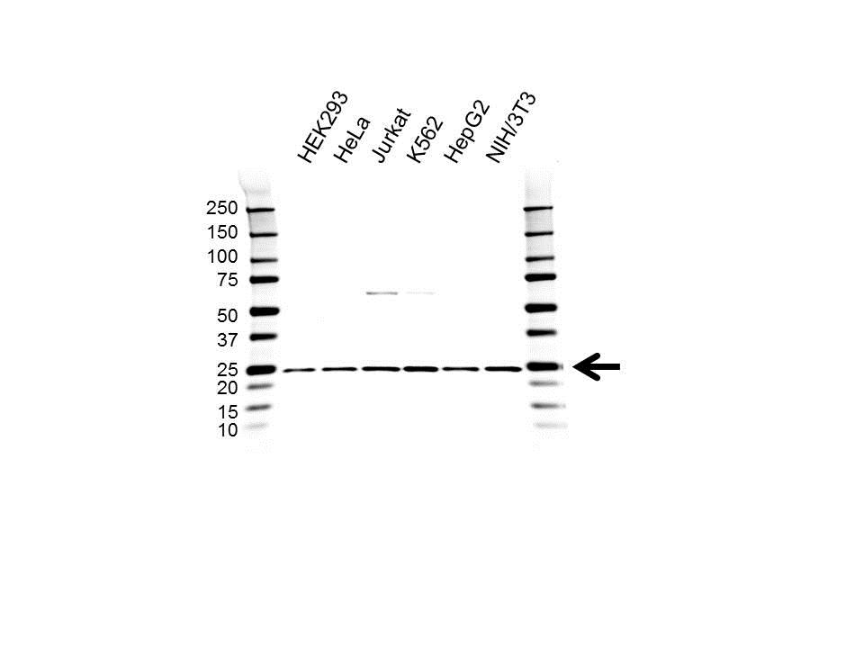 Anti RPL9 Antibody (PrecisionAb™ Polyclonal Antibody) gallery image 1