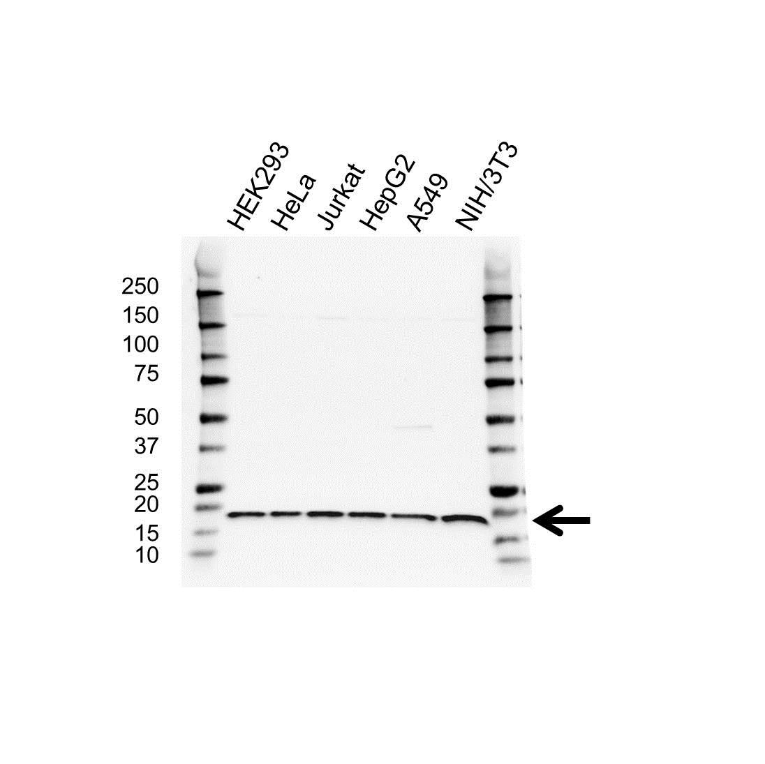 Anti RPS17L Antibody (PrecisionAb™ Polyclonal Antibody) gallery image 1