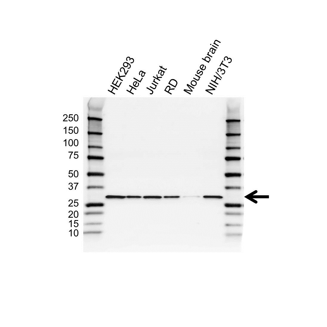 Anti RPS3 Antibody (PrecisionAb™ Polyclonal Antibody) gallery image 1