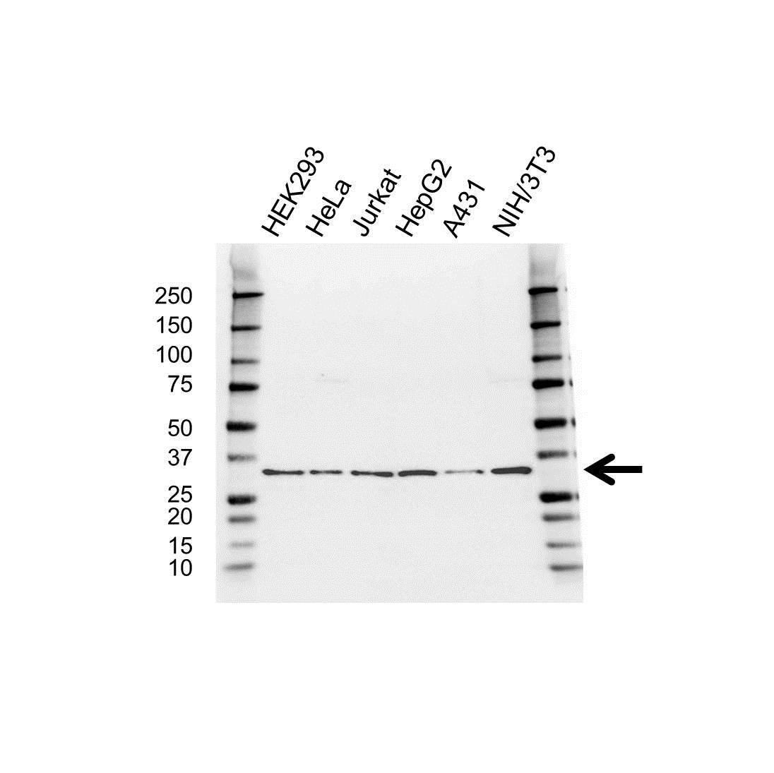 Anti RPS3A Antibody (PrecisionAb Polyclonal Antibody) gallery image 1