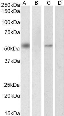 Anti RXR Alpha Antibody thumbnail image 1