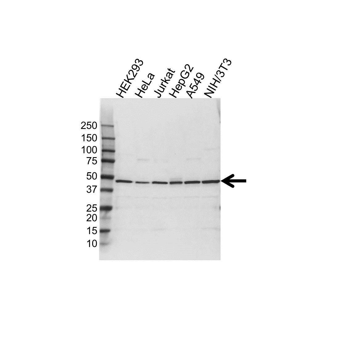 Anti S-ADENOSYL Homocysteine Hydrolase Antibody (PrecisionAb Polyclonal Antibody) gallery image 1