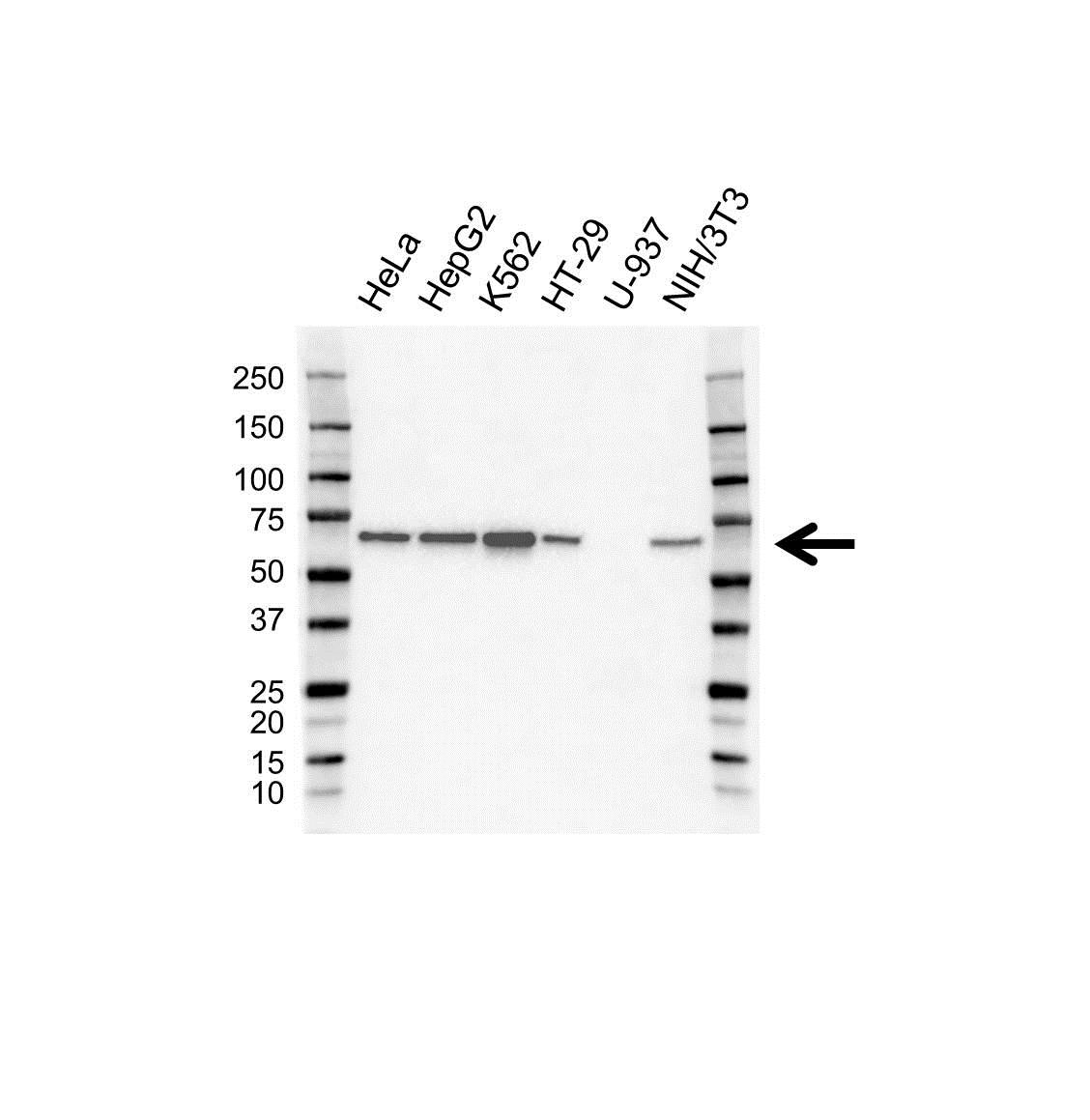 Anti SAM68 Antibody (PrecisionAb™ Polyclonal Antibody) gallery image 1