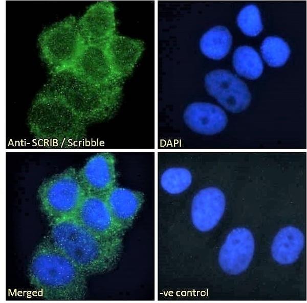 Anti Scrib Antibody thumbnail image 2