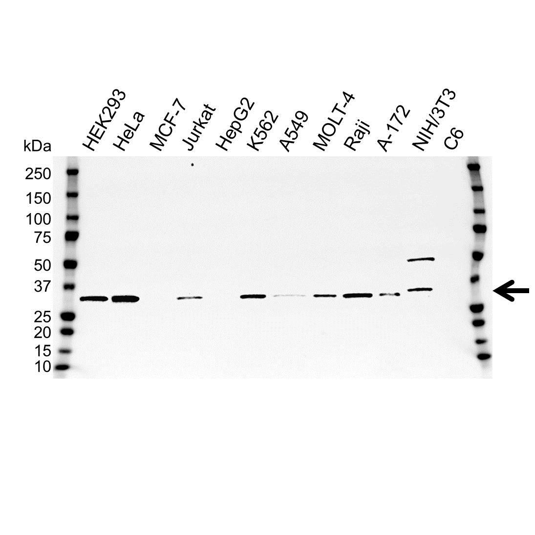 Anti SDCBP Antibody (PrecisionAb Polyclonal Antibody) gallery image 1