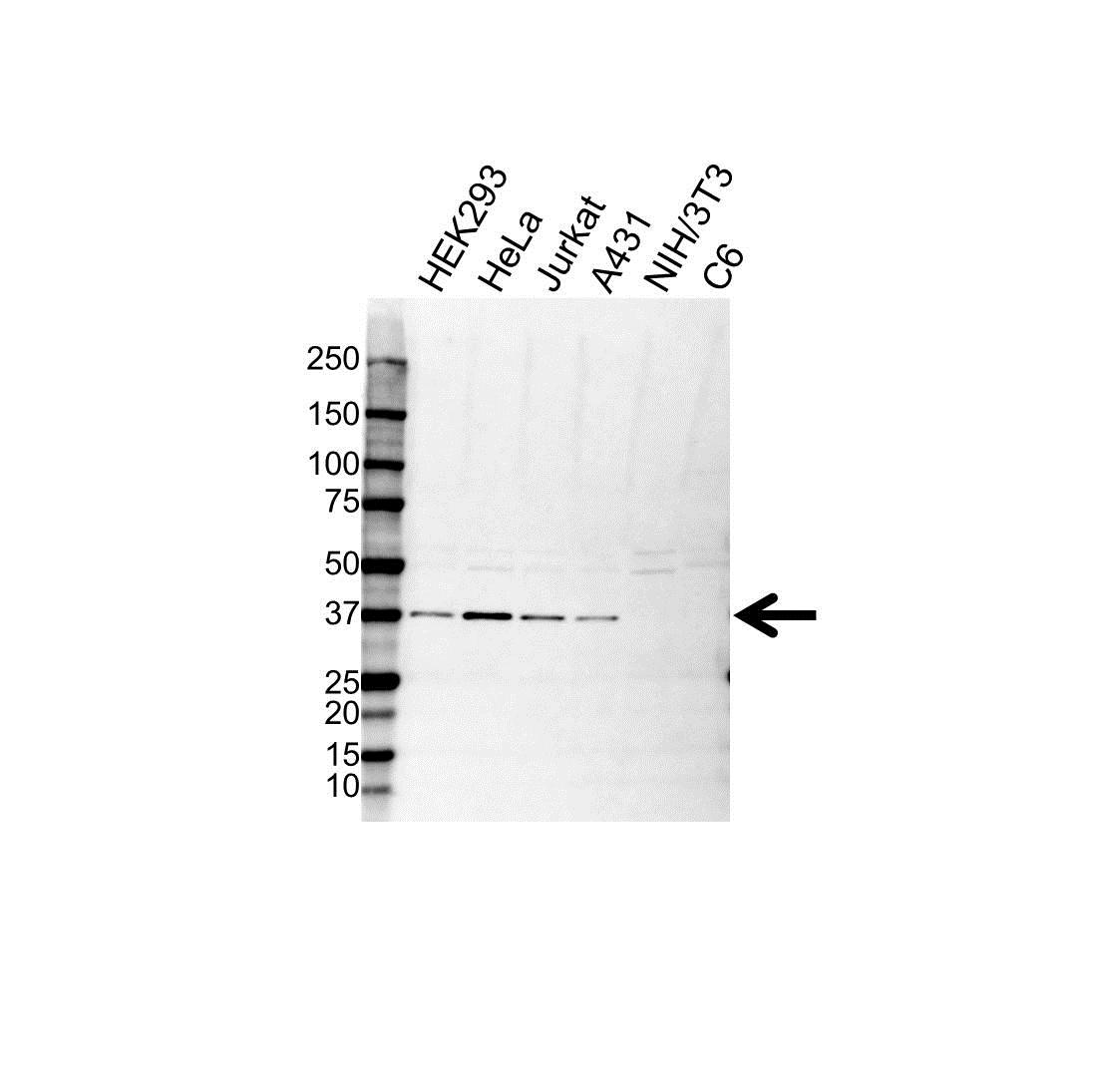 Anti SEC13 Antibody (PrecisionAb Polyclonal Antibody) gallery image 1