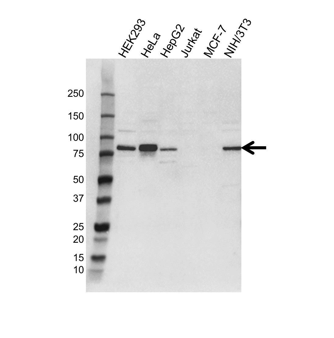 Anti SEL1L Antibody (PrecisionAb™ Polyclonal Antibody) gallery image 1