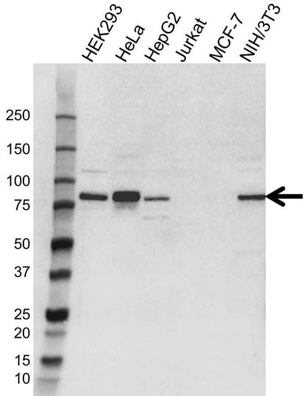 Anti SEL1L Antibody (PrecisionAb Polyclonal Antibody) gallery image 1